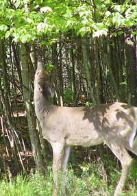 deer browse line