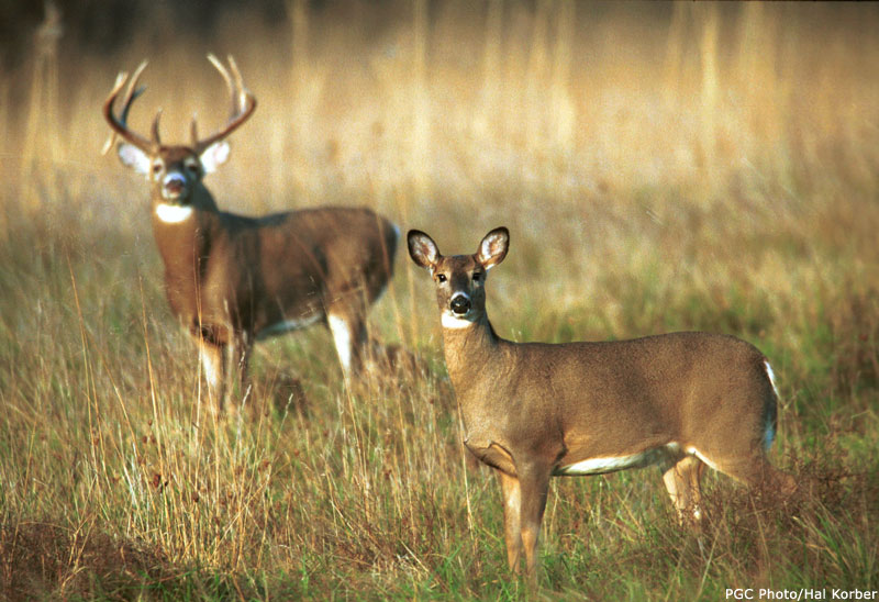 white tail deer 1