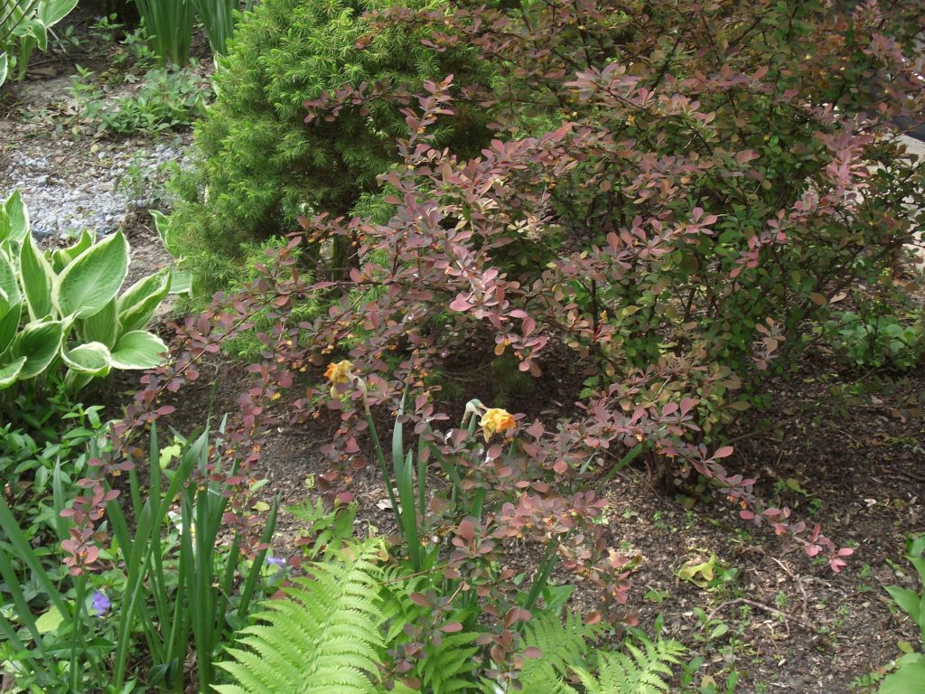 110511 barberry