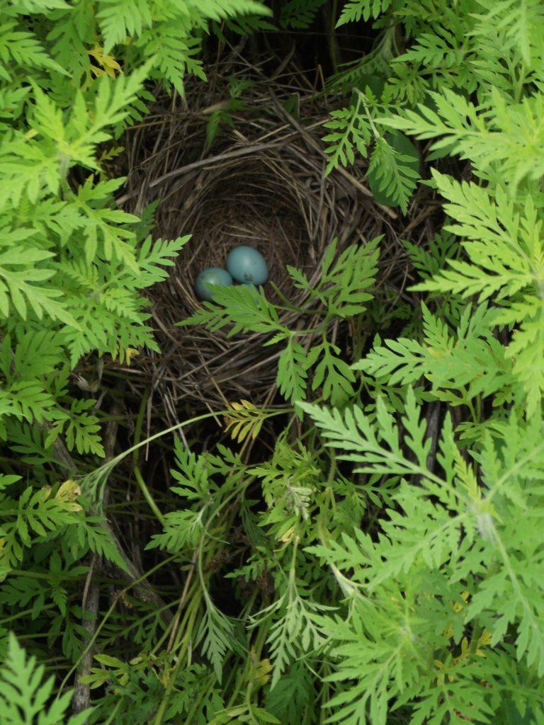 110623 dickcissel nest