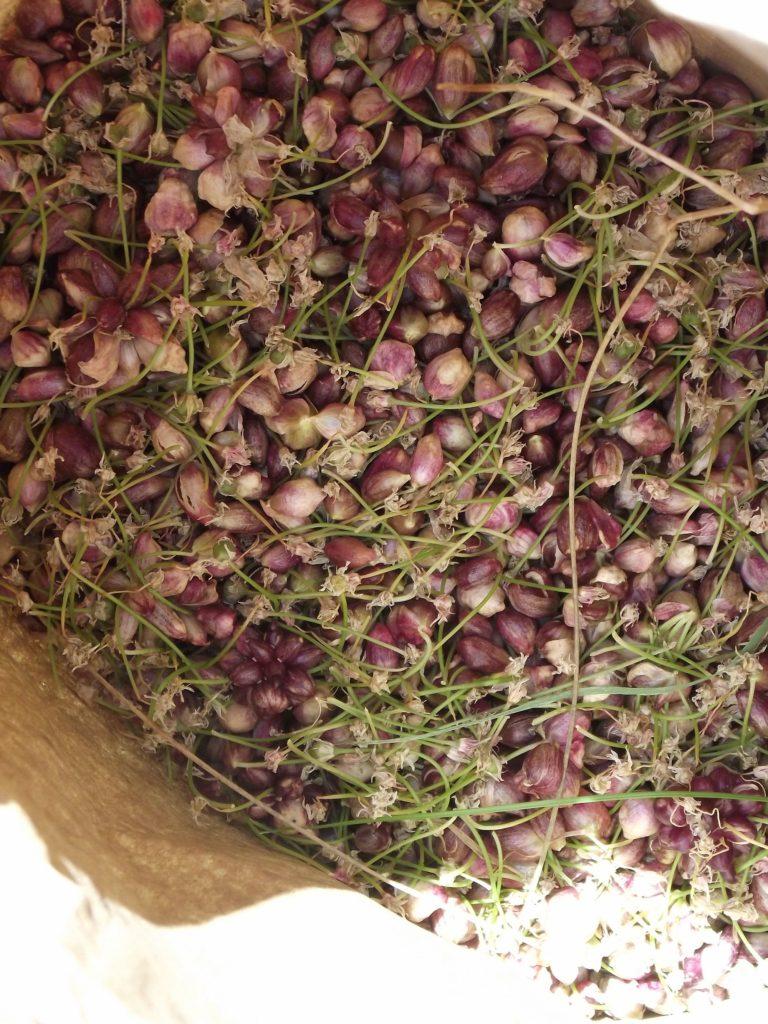 110705 wild garlic seed