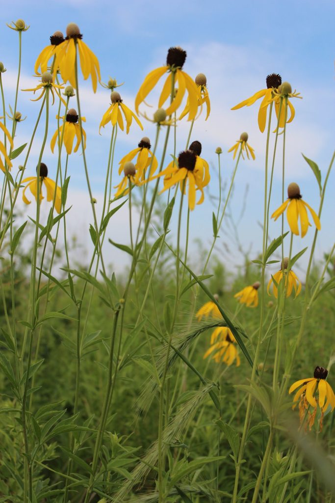 110716 yellow coneflower