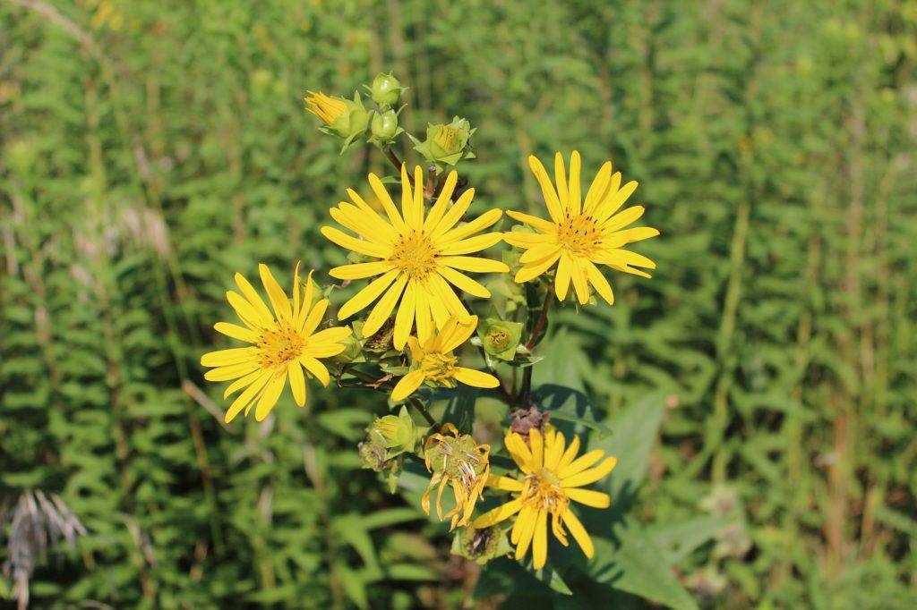 110814 prairie plant 2