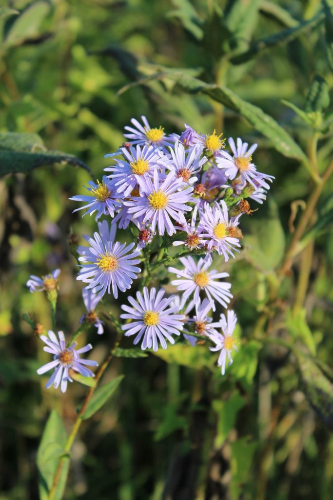 110918 asters