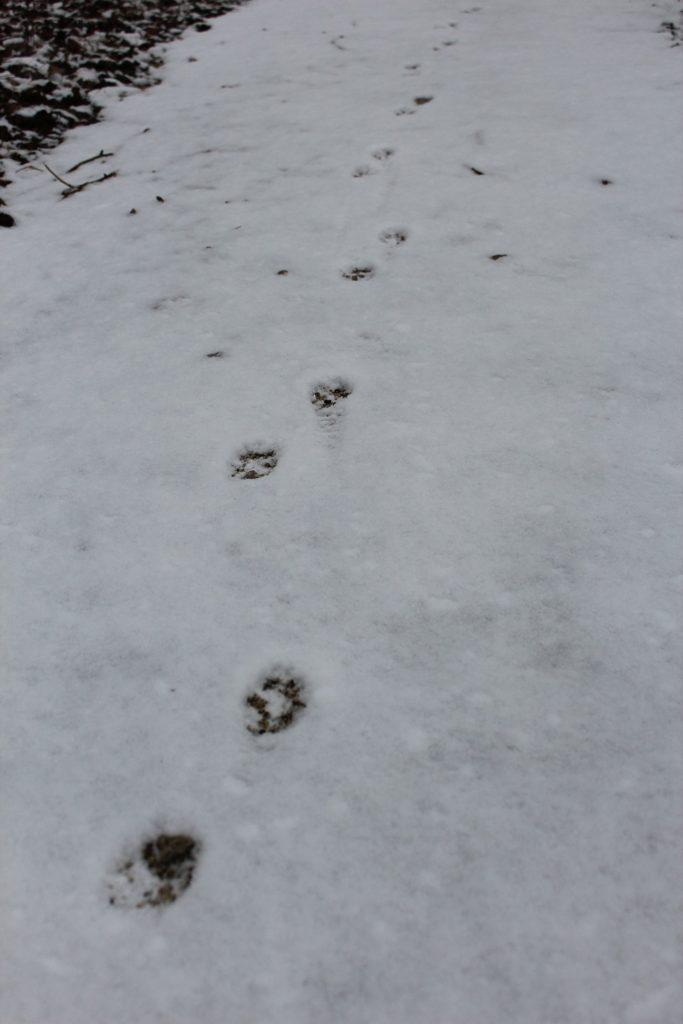 111217 coyote tracks