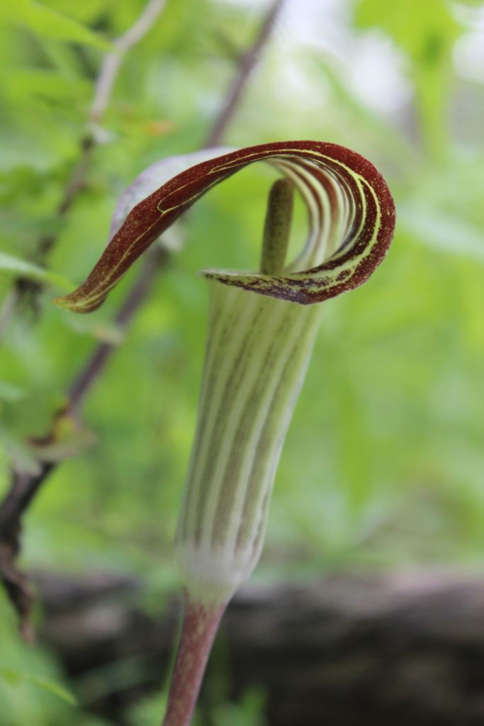 120408 jack in the pulpit