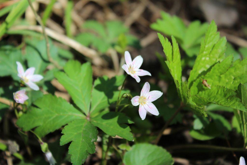 120408 spring beauties