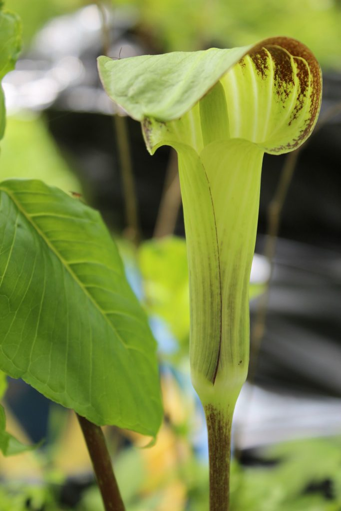120421 jack in the pulpit
