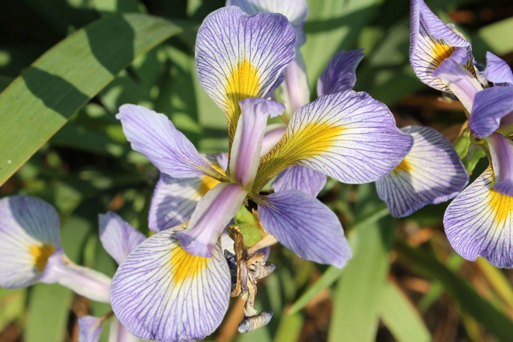 120527 iris