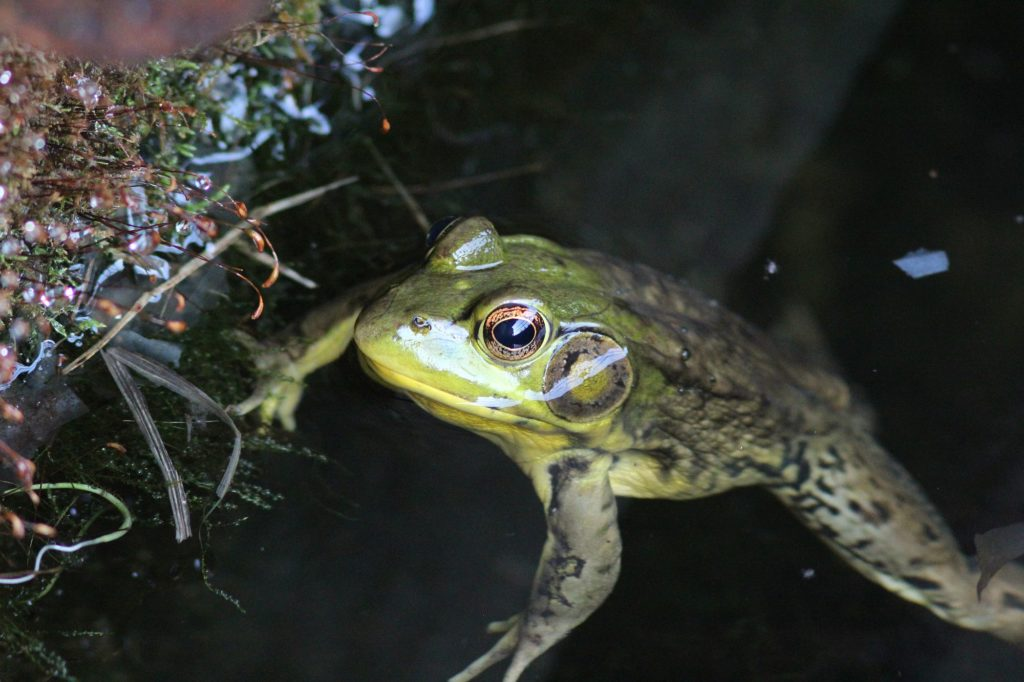 120630 green frog