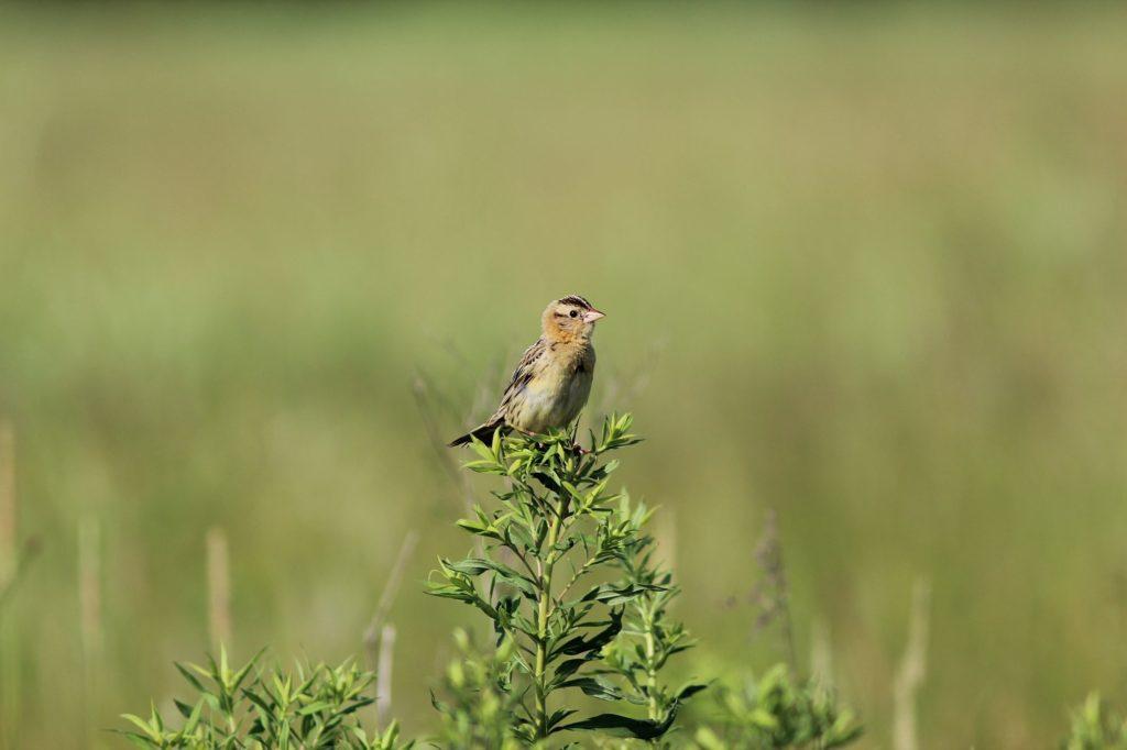 120623 grasshopper sparrow