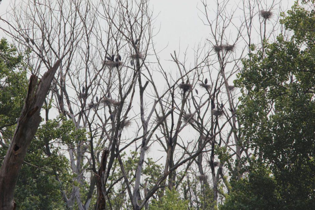 120630 heron rookery