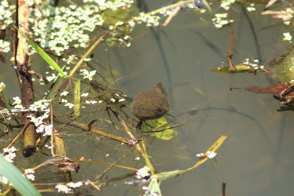 Even monster tadpoles that will morph into bullfrogs, which eat just about anything they can catch, including dragonflies.