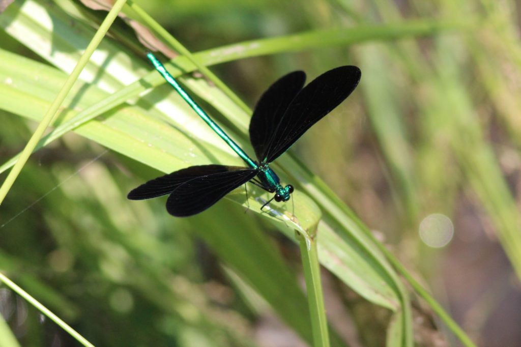 Emerald Jewelwing. The name says it all about this damselfly that flits like a butterfly.