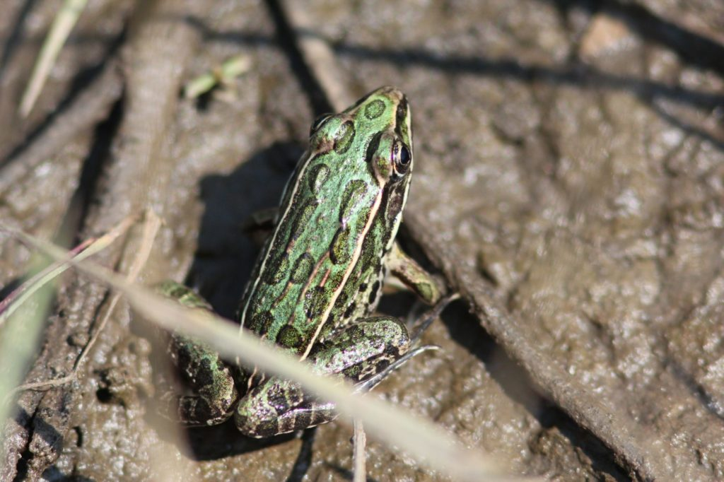 If you're going to hang out in wetlands, you might as well enjoy the pickerel frogs, as well.