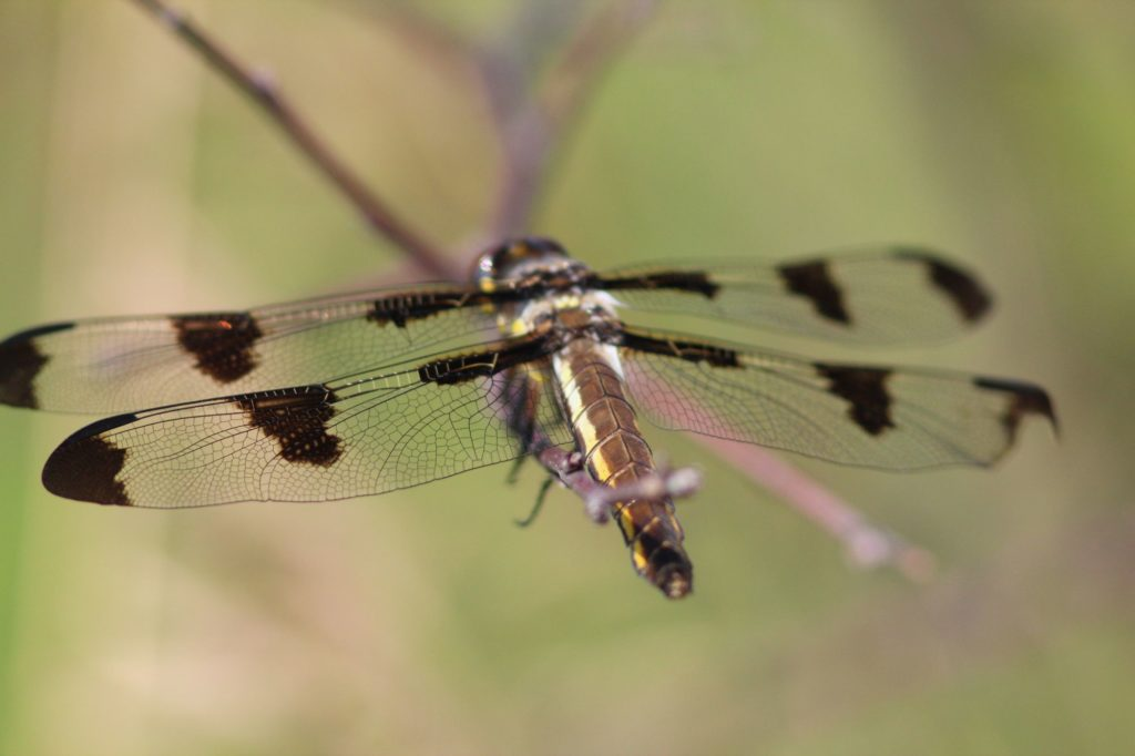 Compared to the males, female twelve-spotted skimmers lack the white wing patches that alternate between the dark patches. But the yellow side stripes on their bodies (thoraxes) tend to be more distinct.