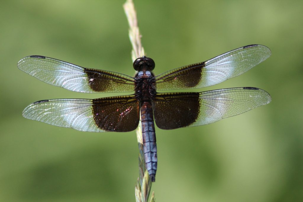Most dragonfly names have quite the dramatic flair. This male widow skimmer is distinct for its white and dark wing patches, combined with a dusky, bluish-grey abdomen (or tail.)