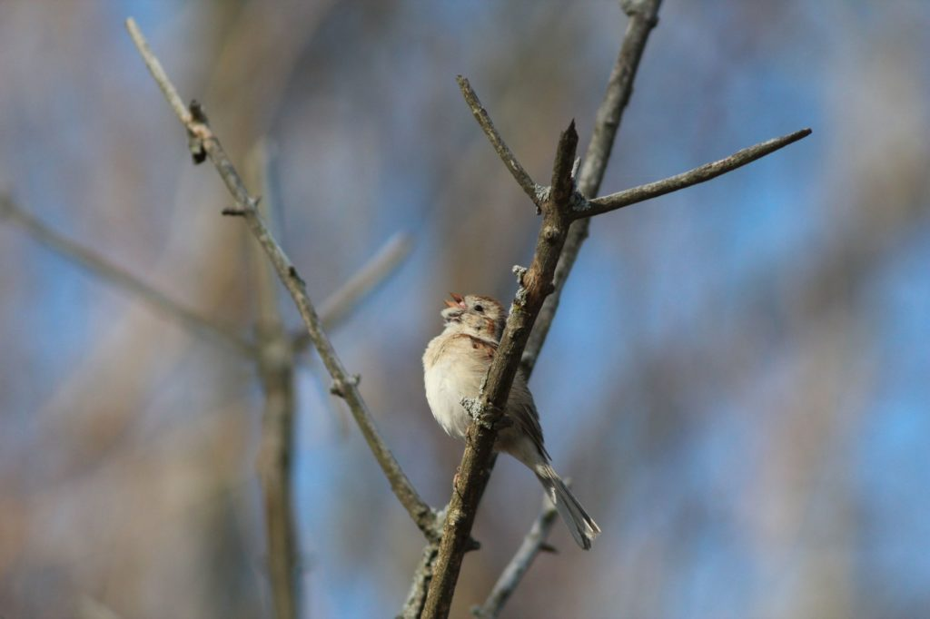 "A field sparrow in full voice with its telltale ""bouncing ping pong ball"" trill."
