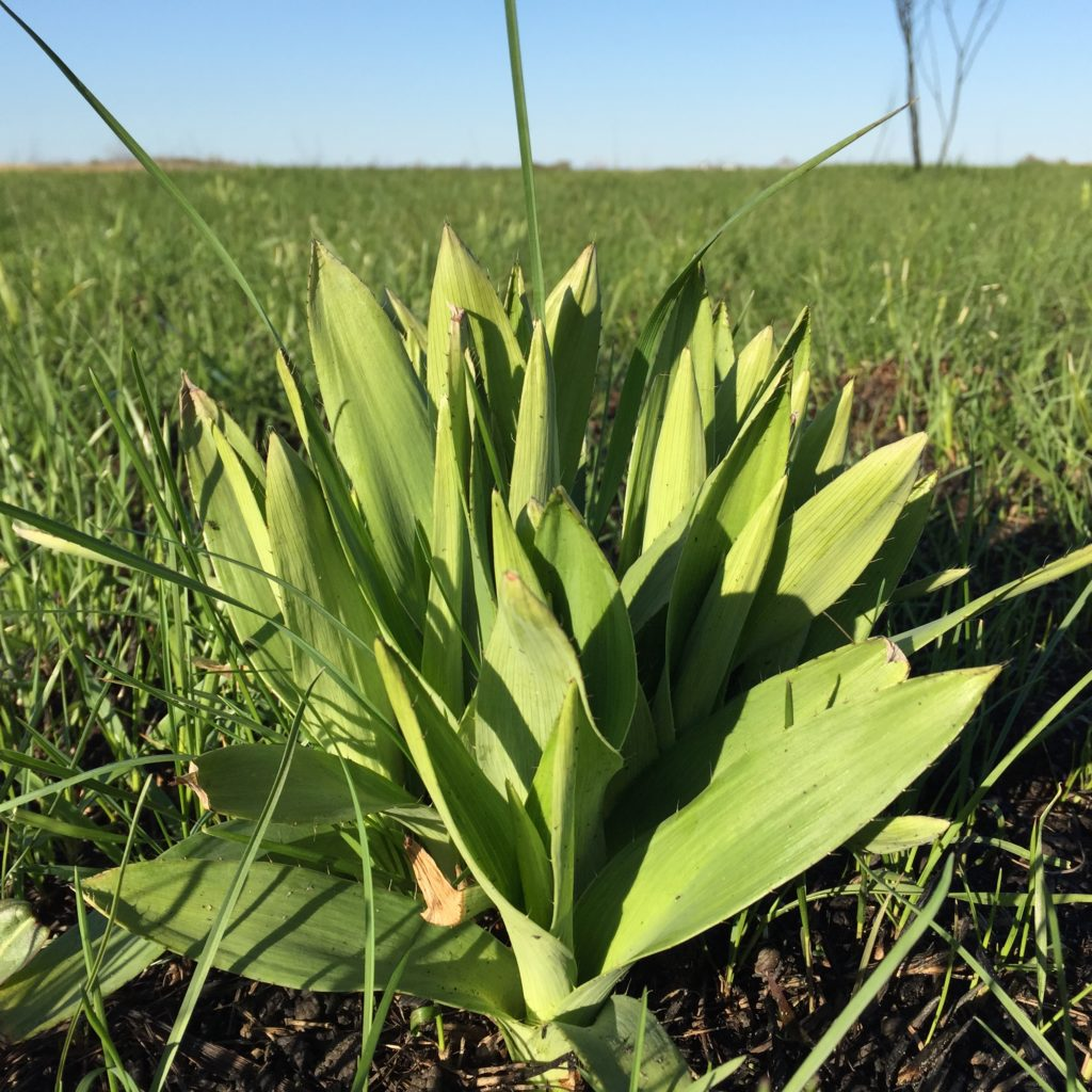 Rattlesnake master emergent in South Patrol Road Prairie