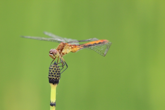 ruby meadowhawk on horsetail